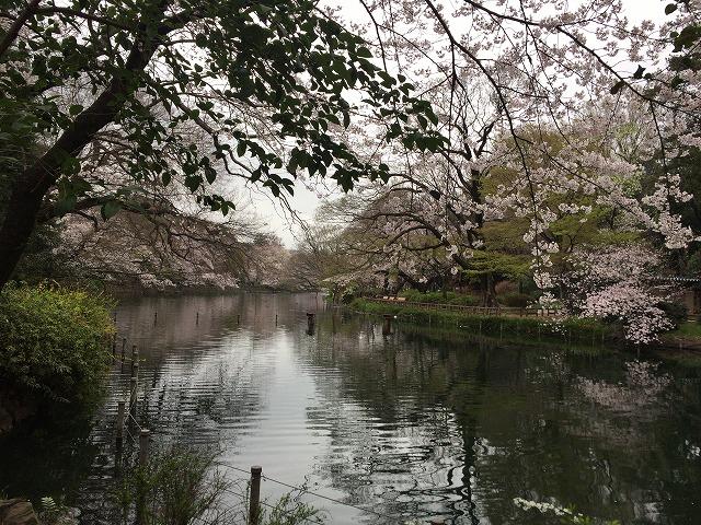 井之頭公園の池と桜