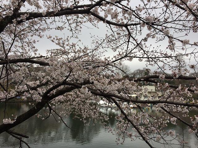 井之頭公園 桜