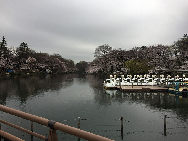 井の頭公園 池の周りの桜