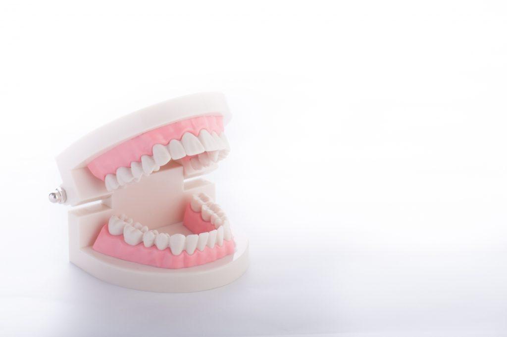 歯茎の模型